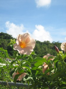 st georges grenada peach flower and sky