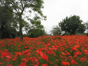 Field Of Poppies Pompeii Italy